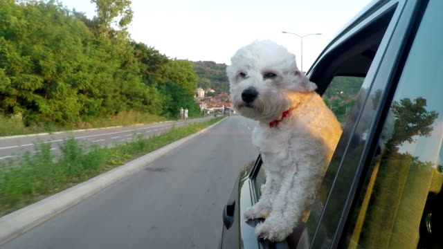 cucciolo chiave di testa di un movimento auto - bichon frisé video stock e b–roll