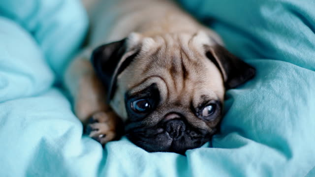 Puppy the pug on the blue blanket Puppy the pug on the blue blanket. yawning stock videos & royalty-free footage