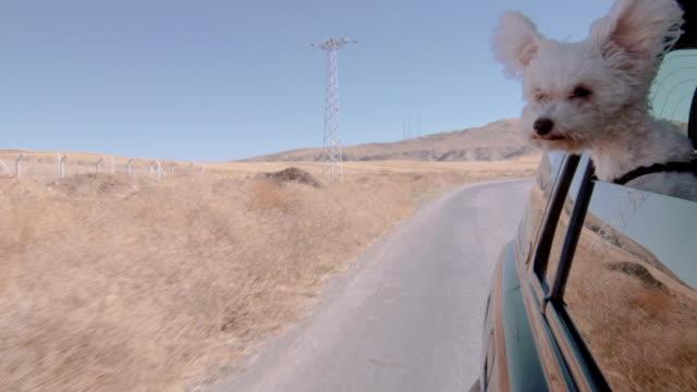 welpe wander untereinander austauschen, aus dem fenster von einem fahrenden fahrzeug. - dog car stock-videos und b-roll-filmmaterial