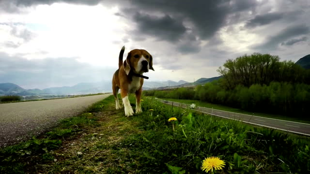 Purebred British beagle shiffing for prey while walking without a lead