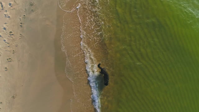 Purebred Zennenhund, Bernese mountain dog, running off the water on a sand sea beach. Top view aerial drone UHD 4K video footage.