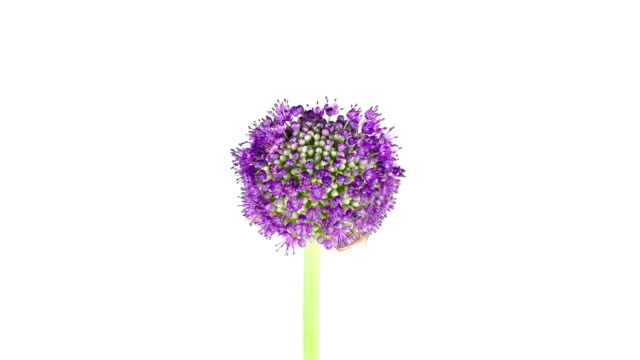 Purple Allium Flower; TIME LAPSE video