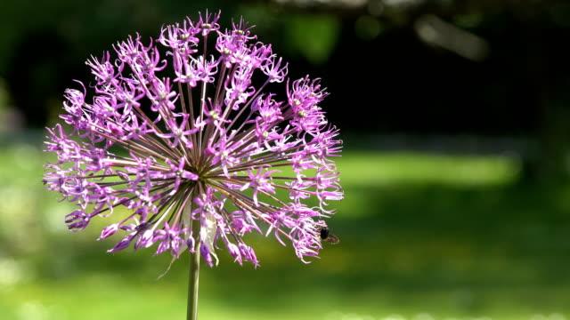 Purple allium flower with honeybee gather nectar. closeup shot. 4K