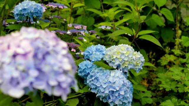 lila und blaue hortensie nahaufnahme. ändern sie die brennweite. - hortensie stock-videos und b-roll-filmmaterial