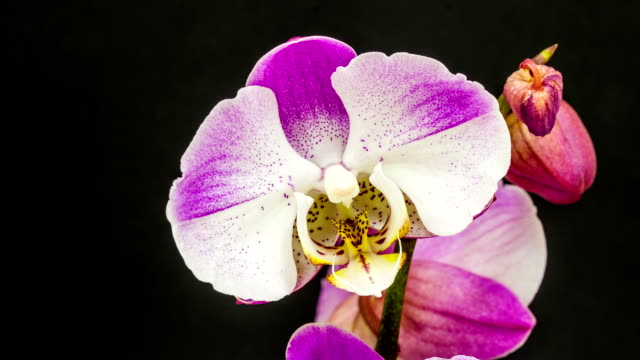 Purple and white orchid flower blooming in a time lapse video on a black background. Time lapse of Phaaenopsis in motion.