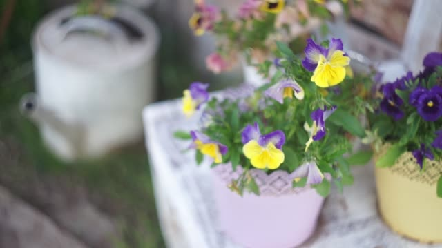 Purple and yellow pansy grow in street flower pots