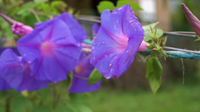 Purple Beach moonflower with green leaves on a wicker fence