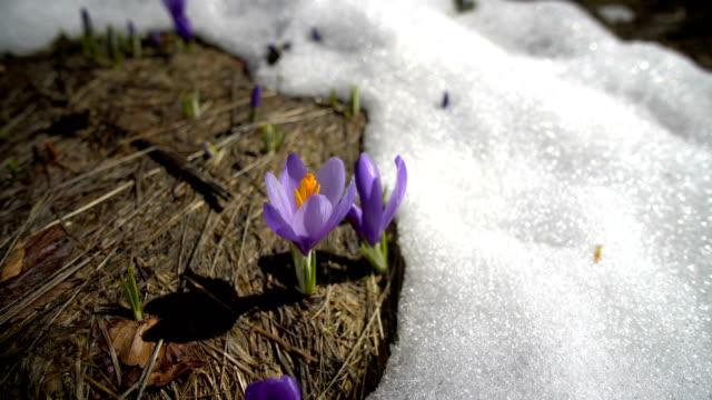 vidéos et rushes de fleurs pourpres de crocus sur la prairie de neige pendant le jour de source - crocus