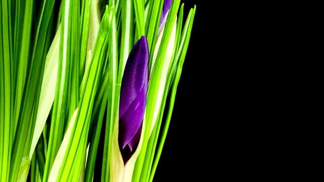stockvideo's en b-roll-footage met purple crocus; time lapse - fresh start yellow