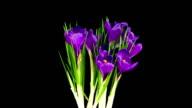 istock Purple Crocus; TIME LAPSE 474464701