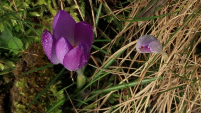 vidéos et rushes de ouverture de crocus violets - crocus