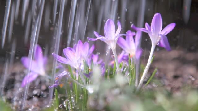 Purple crocuses video