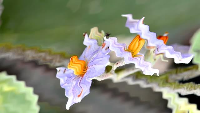 purple Eggplant flowers in a garden video