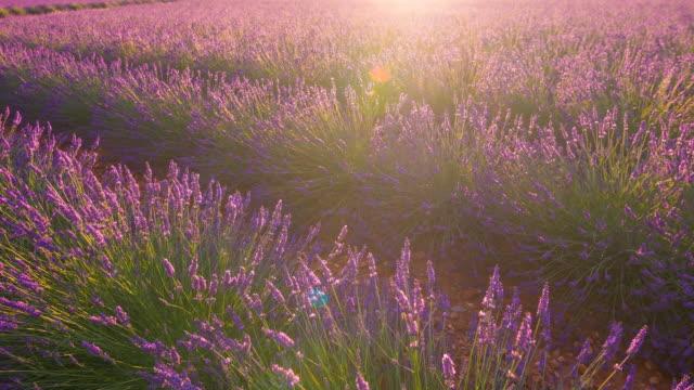 Purple fields of lavender dancing in the wind video