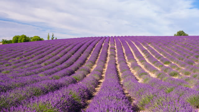 Purple fields of lavender in the summer time Amazing purple fields of lavender in the summer time. lavender plant stock videos & royalty-free footage