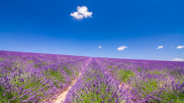 Purple fields of lavender in the summer time video