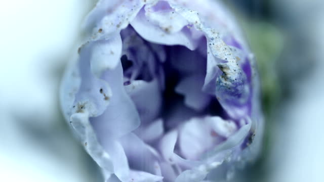 Purple flower blooming, opening its blossom. Epic time lapse. Wonderful nature. Futuristic world