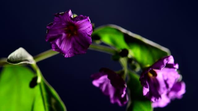 ekspozycja poklatkowa: fioletowe kwiaty odbarwienie - kwiat roślina filmów i materiałów b-roll