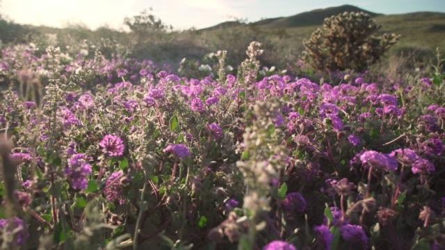 vídeos de stock e filmes b-roll de purple flowers in super bloom at anza-borrego desert state park - granadilha