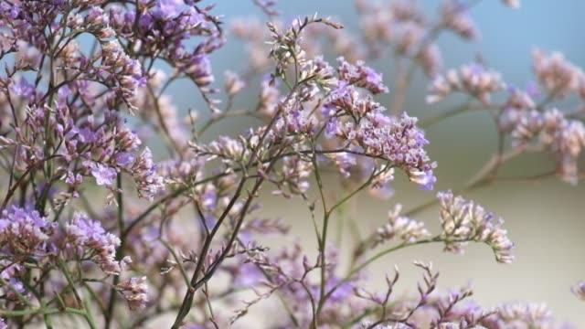 Purple flowers of caspia (Limonium gmelinii) video