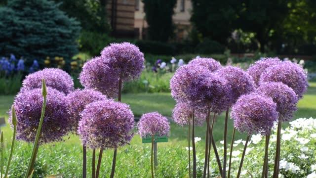 purple flowers of garlic (allium) shaking on wind - aglio alliacee video stock e b–roll