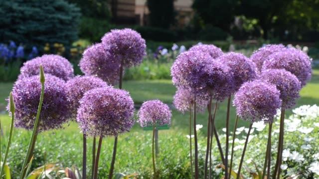 Purple flowers of garlic (Allium)