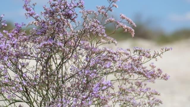 Purple flowers of marsh rosemary (Limonium gmelinii) video