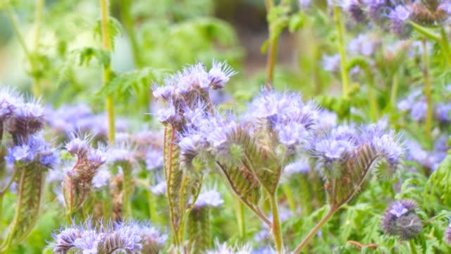 lila blüten der phacelia im garten - nierenkelch stock-videos und b-roll-filmmaterial