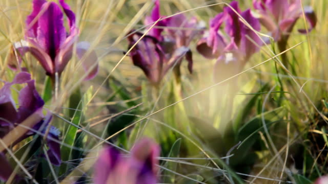 purple, Flowers of wild irises at sunset video
