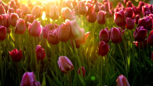 lila blommor tulpaner på staden blomsterrabatten vajande från lätt vind. strålar av den nedgående solen lyser vackert blommorna. närbild - tulpan bildbanksvideor och videomaterial från bakom kulisserna