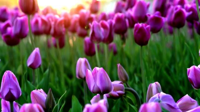 弱風から優しく揺れる紫の花チューリップ。夕日の光線は、花を美しく照らします。クローズ アップ。 - チューリップ点の映像素材/bロール