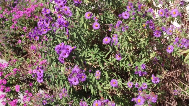 Purple flowers with honey bees, butterflies and other insects attracted to their color and pollen smell - 30 second clip Purple flowers with honey bees, butterflies and other insects attracted to their color and pollen smell - 30 second clip arthropod stock videos & royalty-free footage