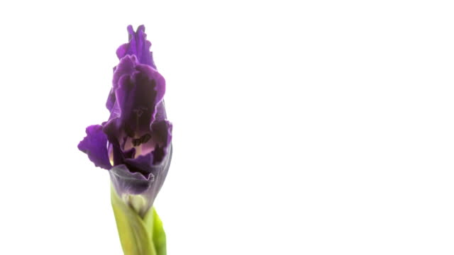 Purple Gladiola Flower Blooming. video