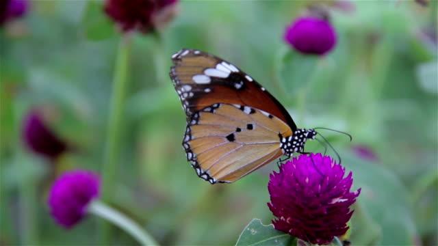 vidéos et rushes de violet avec papillon gomphrena suçage de nectar. - nervure