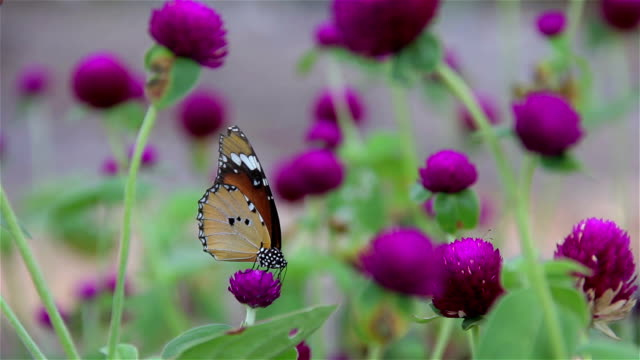 Purple Gomphrena with Butterfly Sucking Nectar. video