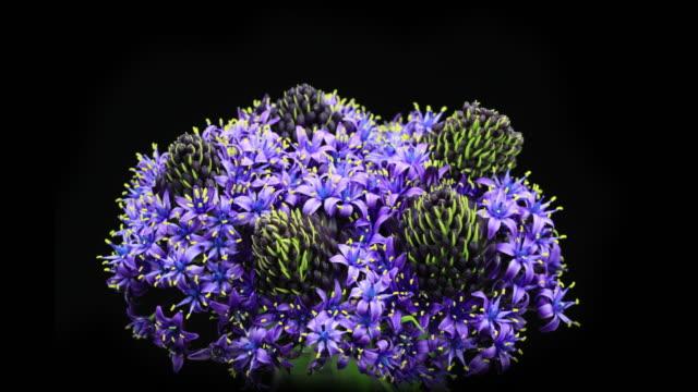 fioritura viola giacinto - vite flora video stock e b–roll