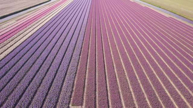 purple hyacinth field in netherlnds. drone fly drone fly over purple hyacinth field in netherlands april stock videos & royalty-free footage