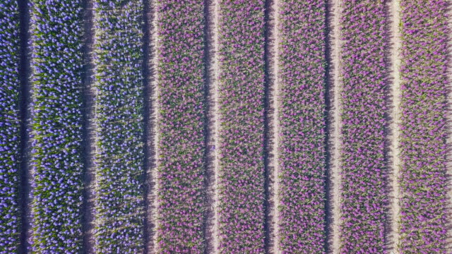 vídeos de stock e filmes b-roll de purple hyacinth field in netherlnds. drone fly - maio