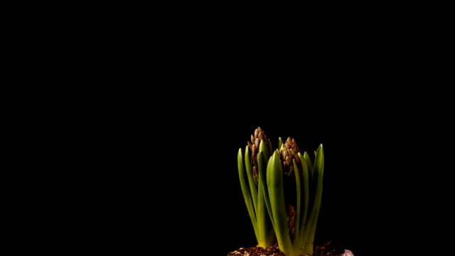 Purple Hyacinth Time-lapse video