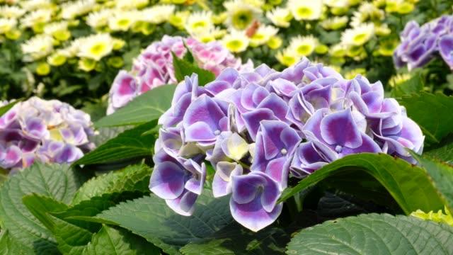 lila blüten der hortensie in einem garten - hortensie stock-videos und b-roll-filmmaterial