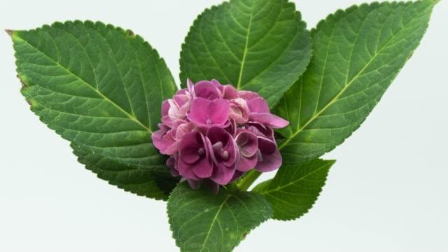 purple hortensie - hortensie stock-videos und b-roll-filmmaterial