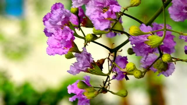 Purple Lagerstroemia flowers on green leaves Purple Lagerstroemia flowers on green leaves doing the splits stock videos & royalty-free footage