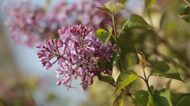 purple lilac bush flover closeup - orticoltura video stock e b–roll