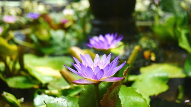 Purple lotus in a pool