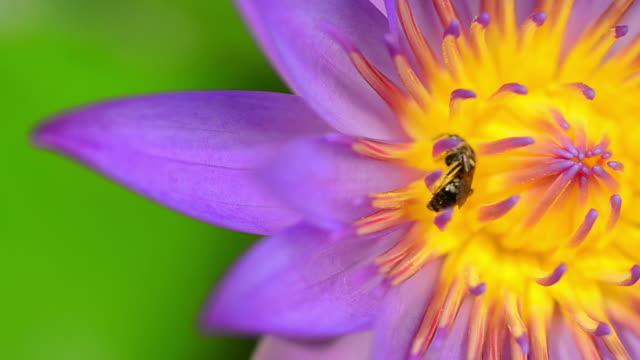 stockvideo's en b-roll-footage met purple lotus - arthropod