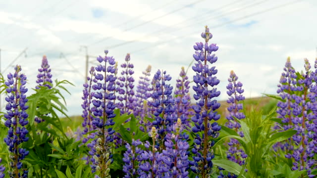 Purple lupines blooms in the fields. video
