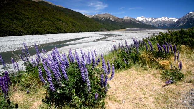 Purple lupins flower at arthur's pass national park , nature landscape background at new zealand video