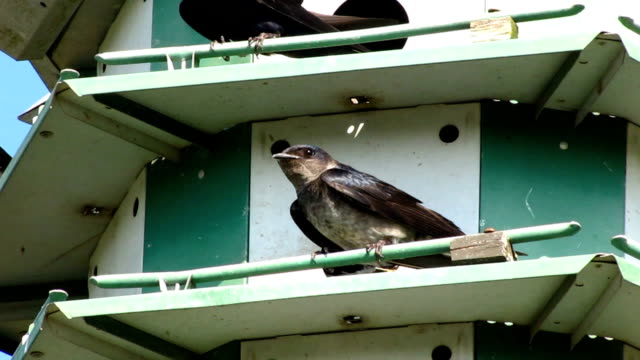Purple Martin Birdhouse video