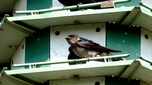 Purple Martins in Birdhouse video
