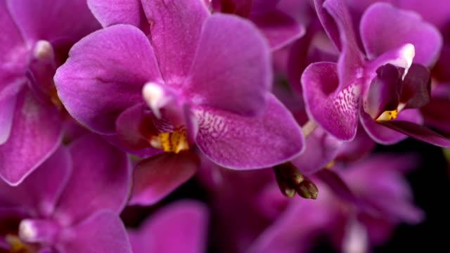lila mini orchidee verwandelt sich auf schwarzem hintergrund - orchidee stock-videos und b-roll-filmmaterial